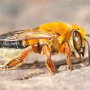 Hymenoptera (ants, bees, wasps)