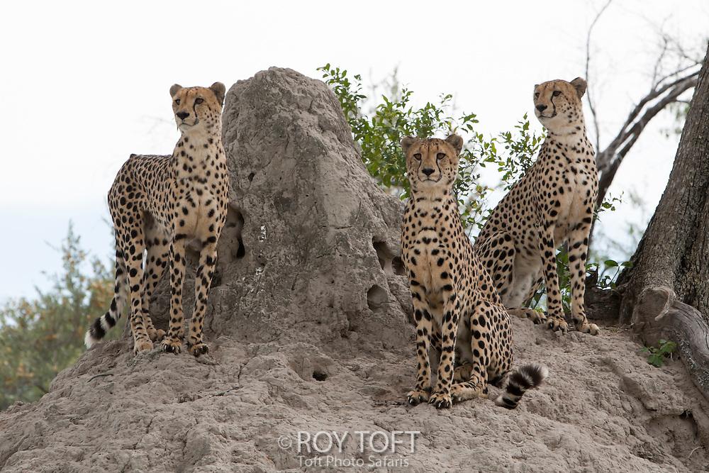Three alert cheetahs next to a termite mound, Botswana, Africa