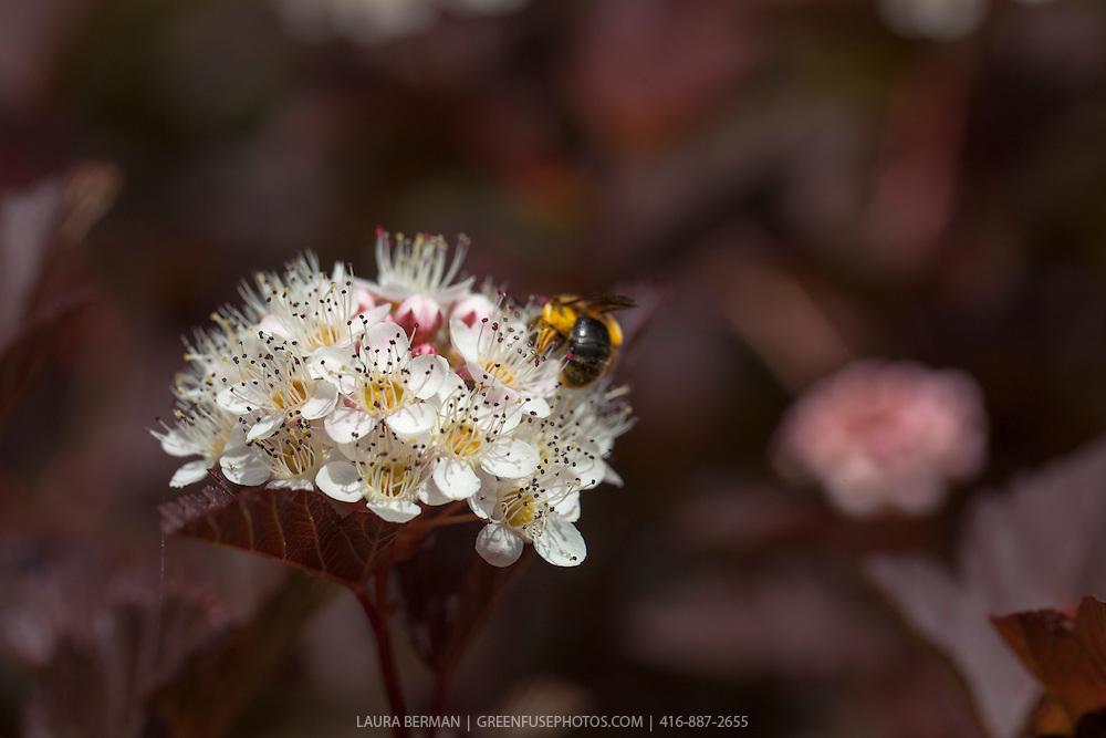 A pollen-covered Adrenid or Mining bee feasting on the flowers of  Summer Wine ninebark (Physocarpus opulifolius 'Seward').