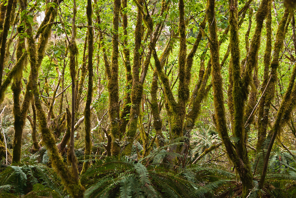 Young moss-covered Beech trees populate a forest clearing among ferns in the Clinton Canyon, Milford Track, Fiordland, New Zealand