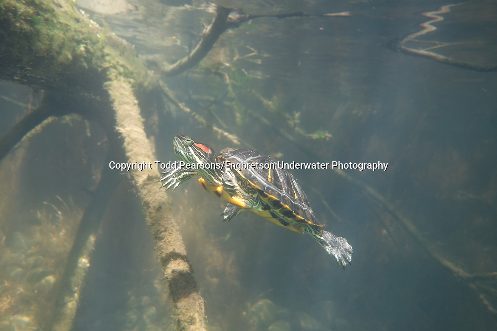 Red-Eared Slider<br /> <br /> Todd Pearsons/Engbretson Underwater Photography