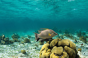 Hogfish (Lachnolaimus maximus)<br /> Hol Chan Marine Reserve<br /> near Ambergris Caye and Caye Caulker<br /> Belize<br /> Central America