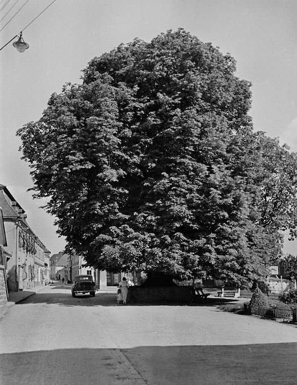 1300 year old Lime Tree, Castle Persenberg, Nibelungengau, Austria, 1937