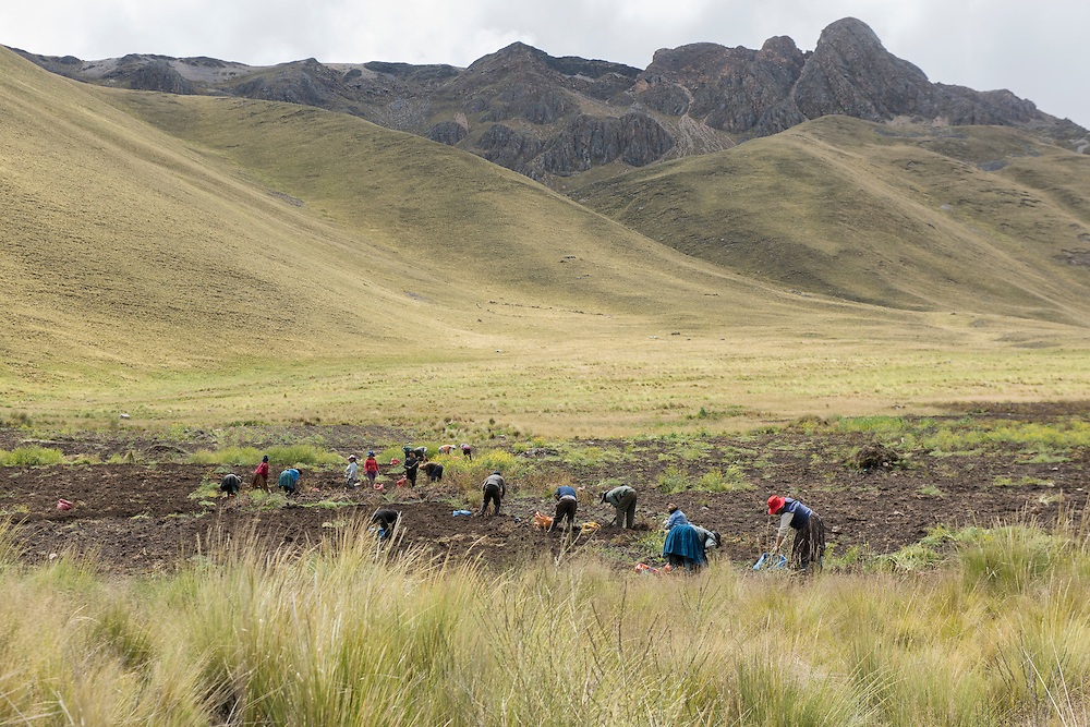 South America, Peru,Cuzco, Andes mountains, Altiplano, local indians harvesting potatoes
