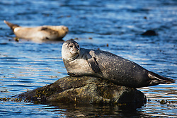 A ringed seal (Pusa hispida) basks in the sun while precariously laying on a small uneven rock in the water, Svalbard, Norway, Arctic