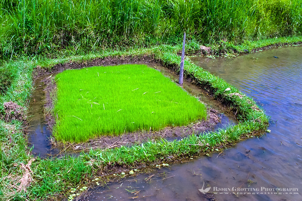 Bali, Gianyar, Bedulu. Baby rice ready to be planted on the irrigated rice fields.