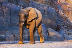 A low angle view of a desert-dwelling elephant bull (Loxodonta africana africana) walking, Skeleton Coast, Namibia,Africa
