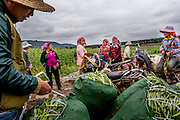 Farmers pack freshly picked beans and peas into sacks for transport to local markets in Manhenuan village, Xishunagbanna, China.