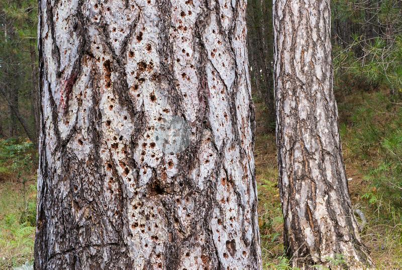 Pino laricio (Pinus nigra).Valle del Rio Madera.Parque Natural de Cazorla, Segura y Las Villas.Jaén. ©Antonio Real Hurtado / PILAR REVILLA