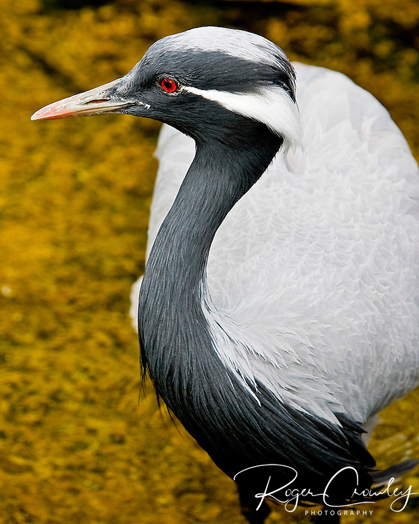 Demoiselle Crane is very abundant in central Asia and will migrate as far east as Africa. This one was captive in Poi'pu Bay on Kaua'i, Hawaii.