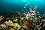Red lionfish (Pterois volitans)  Raja Ampat, West Papua, Indonesia, Pacific Ocean | Der Pazifische Rotfeuerfisch (Pterois volitans) ist in den tropischen Regionen des Pazifischen Ozeanes weit verbreitet. Seine stacheligen Strahlen der Rückenflosse enthalten ein starkes Gift, das sich in einem Hautsekret auf den Stacheln befindet. Raja Ampat, West Papua, Indonesien, Pazifischer Ozean