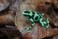 Green and black poison dart frog (Dendrobates auratus) in mountainous rainforest near Puerto Viejo, south Caribbean coast, Costa Rica.