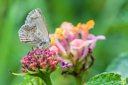 Strymon bazochii - Lantana Scrub Hairstreak
