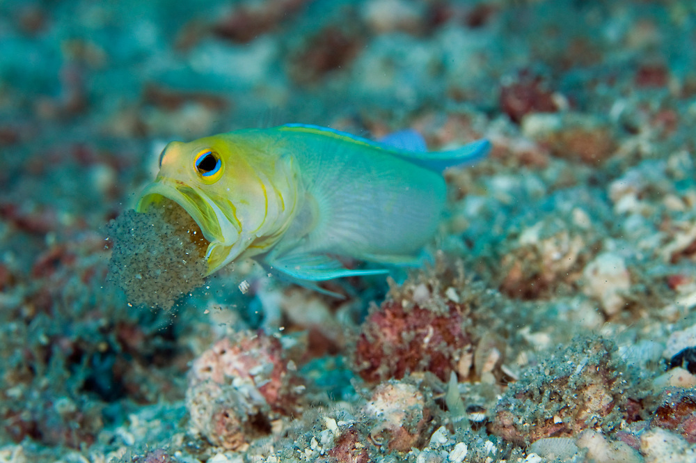 Male Yellowheaded Jawfish, Opistognathus aurifrons, incubating clutch of eggs in his mouth in a coral reef in Palm Beach, Florida.