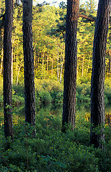 Freedom, NH.The trunks of pitch pine trees, Pinus rigida, in a forest next to Trout Pond in Freedom, NH.  New Hampshire Lakes Region.