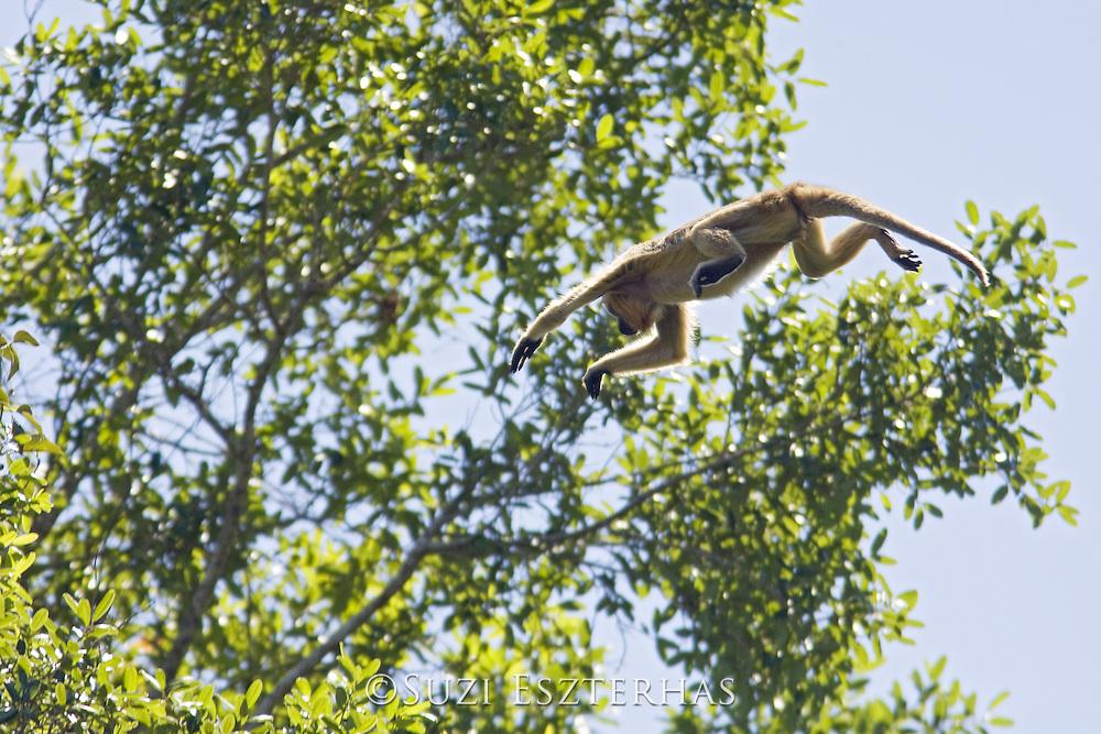 Black Howler Monkey<br /> Alouatta caraya<br /> Pantanal, Brazil