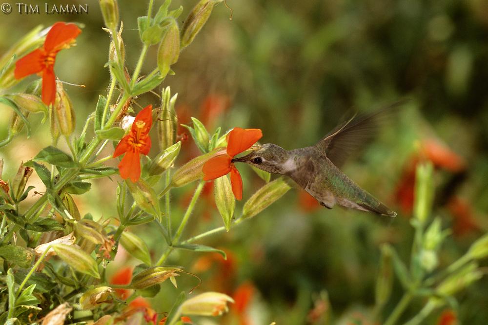 Anna's hummingbird (Calypte anna) feeding on a scarlet monkeyflower.