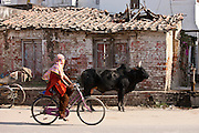 Muslim girl rides past untethered bull in the street in Nandi near Varanasi, Benares, Northern India