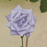 Digitally enhanced image of a perfect blueish rose head