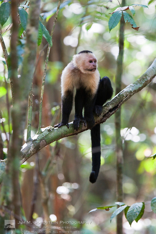 Profile of a White-headed Capuchin Monkey (Cebus capucinus) sitting on a low hanging tree branch in the rainforest of Corcovado National Park, Costa Rica
