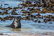 Hooker's Sea Lion, bathing in the kelp, Southland, New Zealand