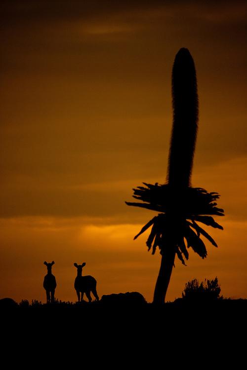 Mountain Nyala, Tragelaphus buxtoni, and giant lobelia silhouette against the sunset on the Sanetti Plateau in Bale Mountains National Park, Ethiopia