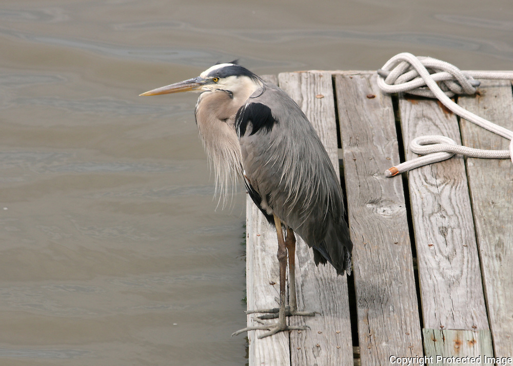 Great Blue Heron on boat dock