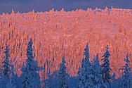 Virgin boreal forest, Muddus National Park, Laponia World Heritage Area, Lapland, Sweden.