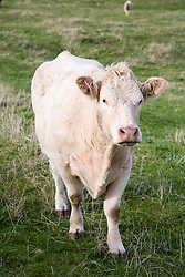 Cattle on mainland Orkney; Scotland,