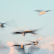 Seagulls flock for food at Wrightsville Beach, NC. Slow shutter-speed blur on purpose
