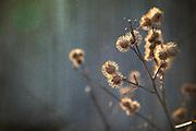 Dried flower against Barnwood taken in Vermont