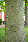 college green, MappAthens, summer, Tree Tour, American Beech