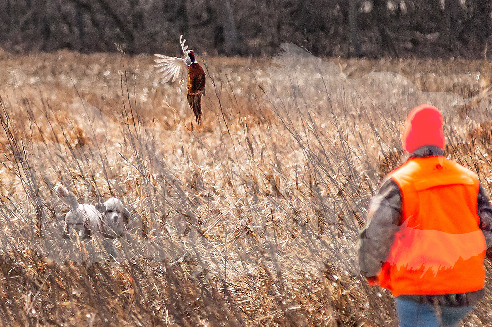 Photography was made at Roosters Run Hunting Preserve, in Burnett, WI. in first days of Spring 2017. The temperature was a cool, windy 56 degrees in WI. Hunting took place on Mar 21, 2017.