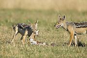 Black-backed Jackal<br /> Canis mesomelas<br /> Holding freshly caught Thomson's gazelle fawn<br /> Masai Mara Triangle, Kenya