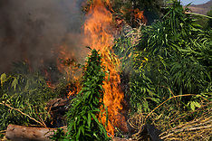 Marijuana Fields