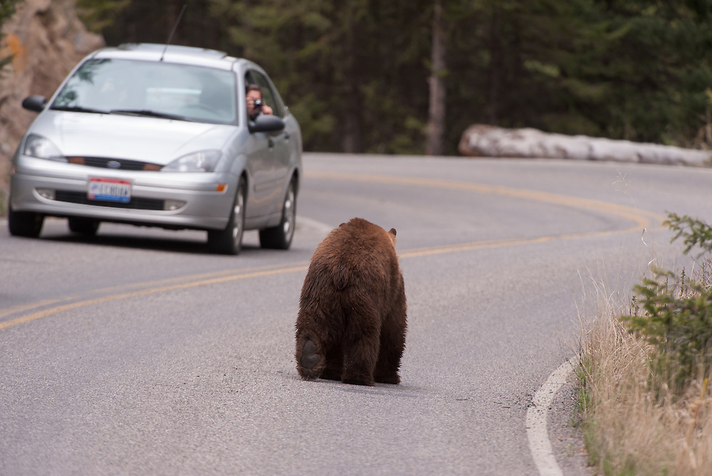 Tourists photographing a black bear (Ursus americanus) on a Yellowstone National Park road, Wyoming