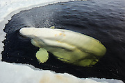 The sad journey of the Russian beluga Whale's from sea to human captivity<br />