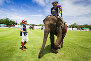"28 AUGUST 2013 - HUA HIN, PRACHUAP KHIRI KHAN, THAILAND:  ED STORY, from Comfort, TX, LEFT, talks to a player atop an elephant at the King's Cup Elephant Polo Tournament in Hua Hin, Thailand. The tournament's primary sponsor in Anantara Resorts and the tournament is hosted by Anantara Hua Hin. This is the 12th year for the King's Cup Elephant Polo Tournament. The sport of elephant polo started in Nepal in 1982. Proceeds from the King's Cup tournament goes to help rehabilitate elephants rescued from abuse. Each team has three players and three elephants. Matches take place on a pitch (field) 80 meters by 48 meters using standard polo balls. The game is divided into two 7 minute ""chukkas"" or halves. There are 16 teams in this year's tournament, including one team of transgendered ""ladyboys.""    PHOTO BY JACK KURTZ"