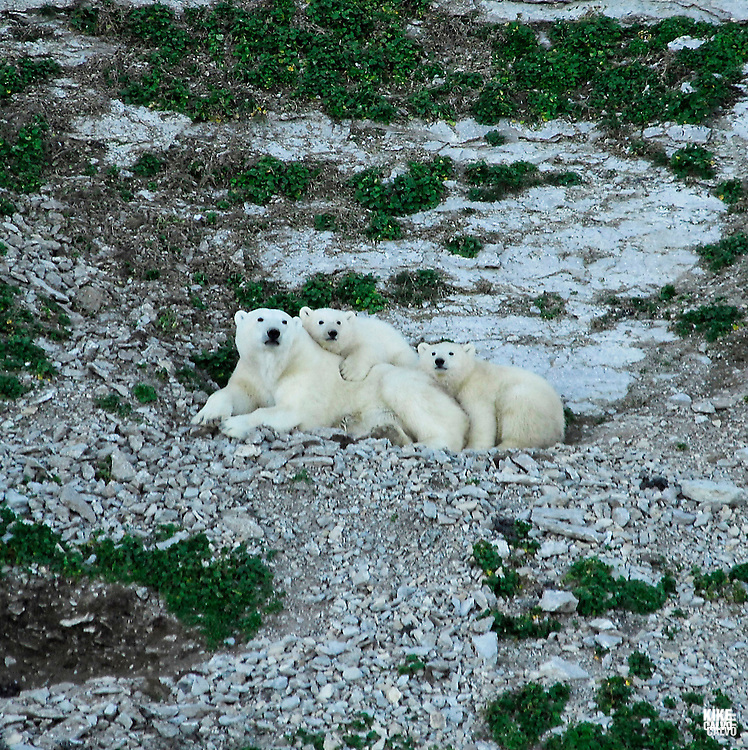 Polar bear ( ursus maritimus ) come to Akpatok Island, to feed on the thousands of thicked billed murres that nest on the area. Baffin Bay.  Baffin Island. High Arctic. Canada.