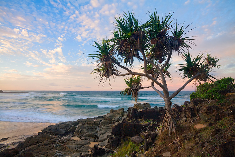 The easily recognisible figure of the pandanus tree litters the beaches of the Sunshine Coast.