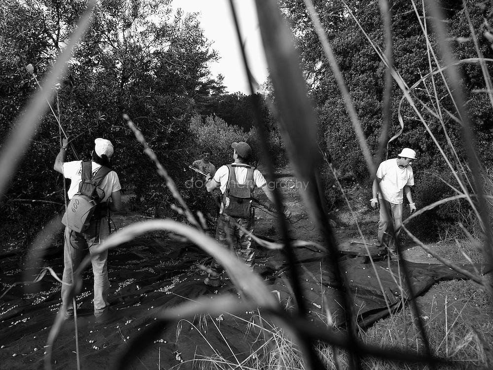 Workers harvesting an olive tree, Domaine du Jasson, La Londe Les Maures, France.