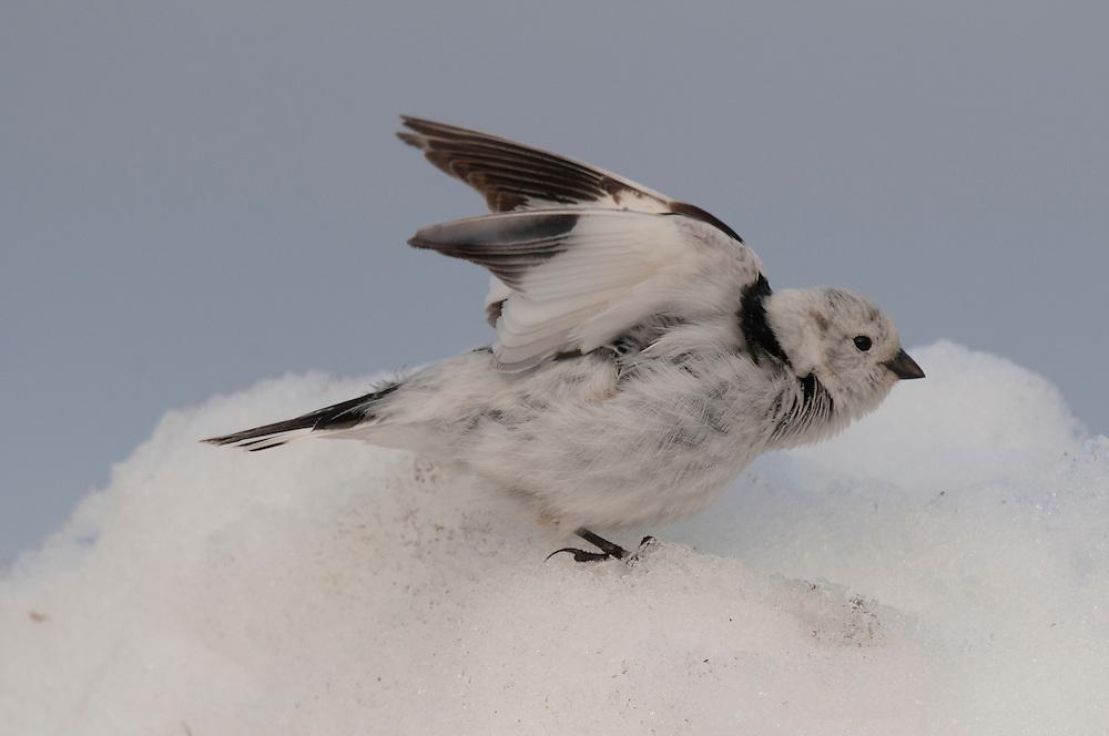 Snow bunting (Plectrophenax nivalis nivalis) stretching its wings on a snowbank near Barrow Alaska