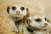 Bis zum Alter von einem Monat werden junge Erdmännchen (Suricata suricatta)  ausschließlich gesäugt.  |  Suricate or Slender-tailed Meerkat (Suricata suricatta)