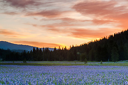 """Sagehen Meadows Sunrise 3"" - These Camas wildflowers were photographed at sunrise in Sagehen Meadows, near Truckee, California."
