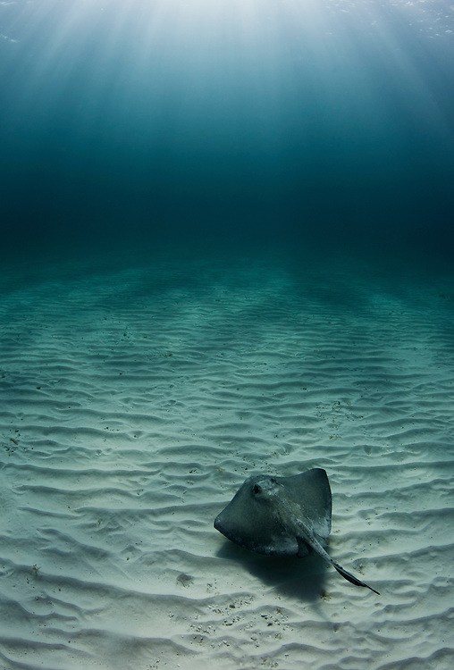 Southern stingray swimming over sand rippled bottom with sun rays pouring in above.