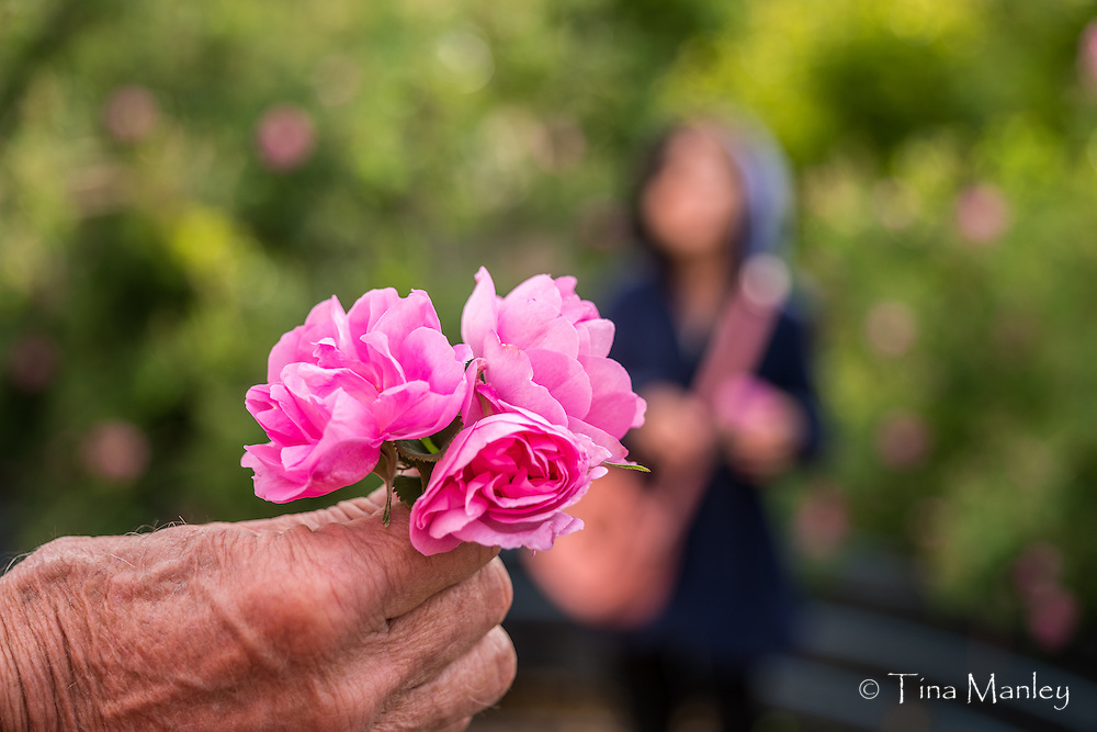 Roses grown to make rose water on the farm stay with family between Yazd and Shiraz.