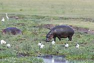 Hippopotamus in Arfican habitat
