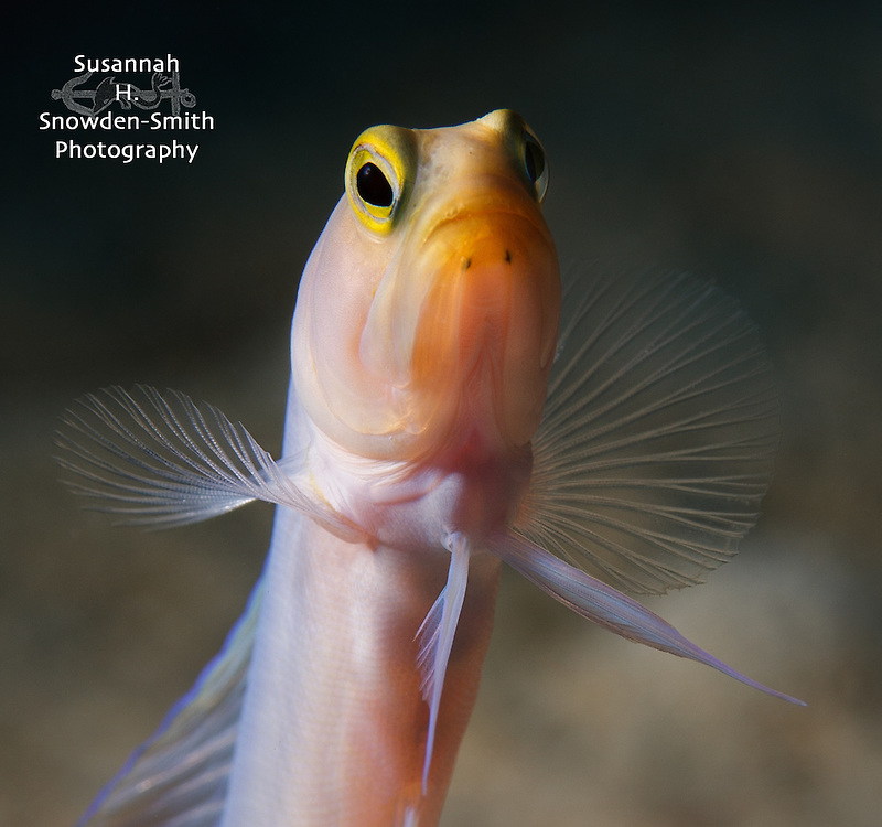 """The Professor"" - Grand Cayman: Yellow headed jawfish portrait."