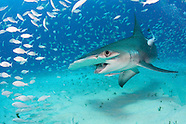 Bimini, Bahamas  Great Hammerhead Sharks