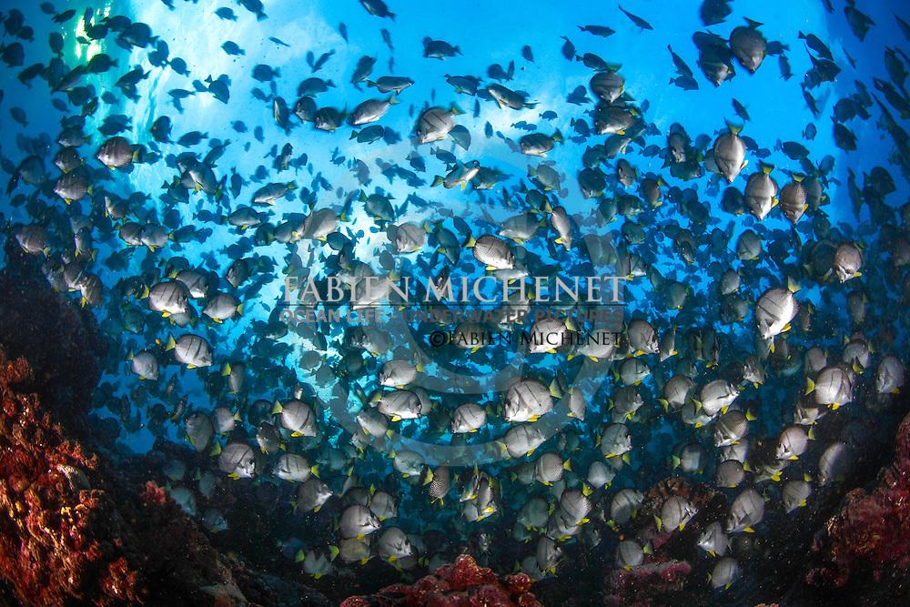Reproduction of withespotted Surgeonfishes (Acanthurus guttatus) in a pass / Reproduction des chirurgiens mouchetés (Acanthurus guttatus) dans une passe. Polynésie.